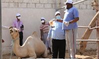 Men taking samples from a camel
