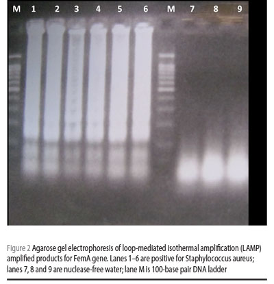Figure 2 Agarose gel electrophoresis of loop-mediated isothermal amplification (LAMP) amplified products for FemA gene. Lanes 1–6 are positive for Staphylococcus aureus; lanes 7, 8 and 9 are nuclease-free water; lane M is 100-base pair DNA ladder
