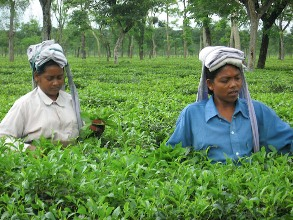 A photograph of two women plucking tea leaves in a tea plantation